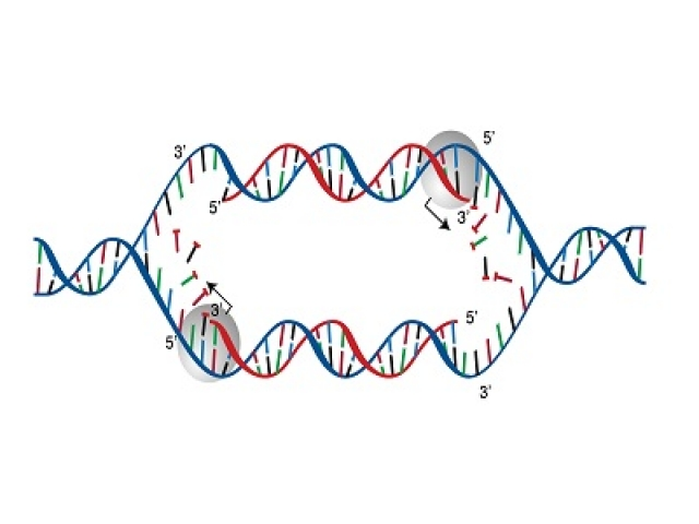 DNA Replication multiple choice questions and answers