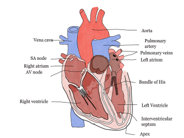 Heart and Circulatory System multiple choice questions and answers